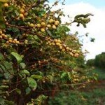 Introduction to Hawaiian Coffee